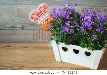 Purple campanula portenschlagiana in white wooden flowerpot on a light brown background. Funny little orange hurt in the flowerpot with a beautiful flowers.