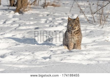 Canadian Lynx (Lynx canadensis) Sits in the Snow - captive animal