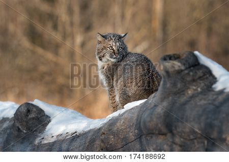 Bobcat (Lynx rufus) Looks Back Over Shoulder - captive animal