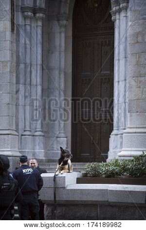 NEW YORK - JAN 13 2017: NYPD Det. Steven McDonald funeral procession and service at St Patricks Cathedral, 5th Avenue, Manhattan - NYPD Canine Unit on duty around cathedral.