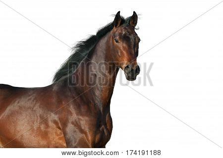 Bay horse portrait isolated on white background