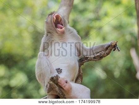 Sleepy MonkeyThe male monkeys were open mouth.