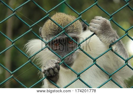a Prisoner small monkey in the zoo