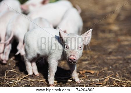 Pigs on the farm. Little piglets. Household. Lovely  pigs pets. Nice pigs