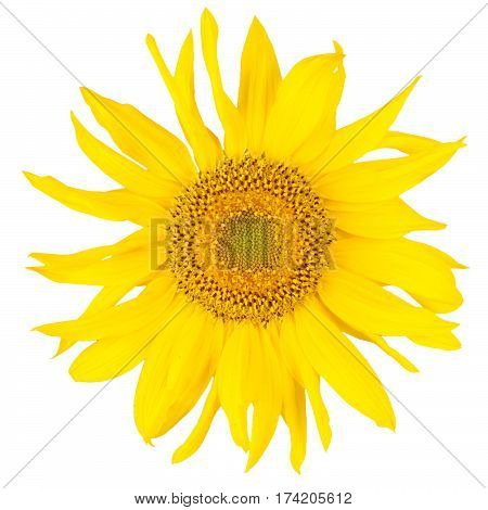 Beautiful yelow sunflower isolated on white. Close-up