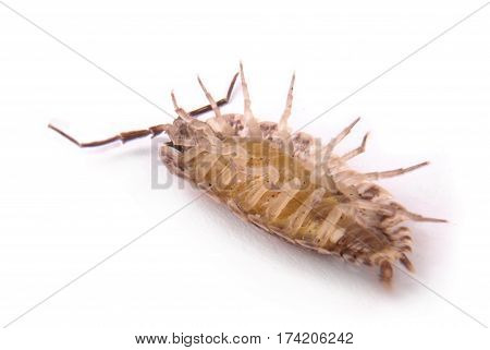 Close up view of a common woodlice (Porcellio scaber) from the bottom isolated on a white background with soft shadow