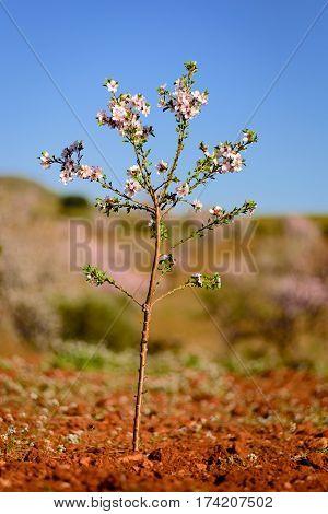 Little almond tree in bloom in Almeria, Spain