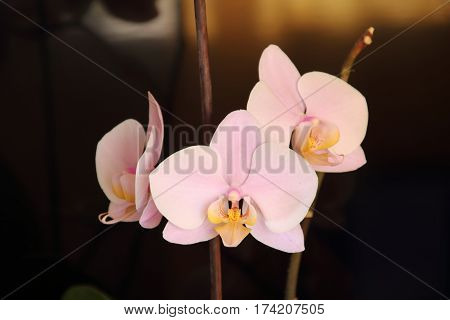Branch of the orchid f pink fowers