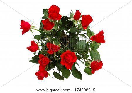 Dozen of scarlet roses isolated on white