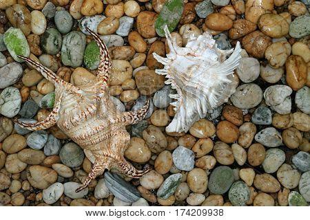 Two natural gorgeous seashells on the pebble stone ground