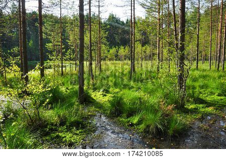 Waterlogged, Overgrown Forest Canopy. Northern Woods Landscape. Green Summer Photo