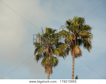 In San Jose, California, the tops of palm trees are spotlighted in warm ambient light with clouds in the background against a blue sky.