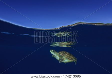 Green Sea Turtle underwater with ocean surface and sky. Half half split over under photo
