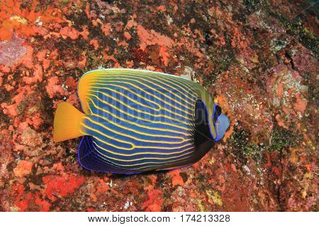 Emperor Angelfish tropical fish