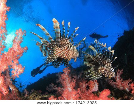 Lionfish, coral reef and scuba divers