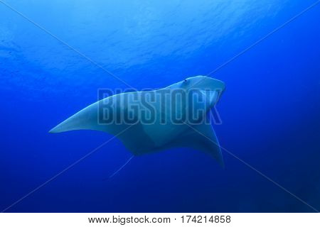 Oceanic Manta Ray swims over coral reef