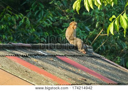 Monkey sitting all alone on the high roof with sun on its face and blurred jungle background, Thailand, Asia