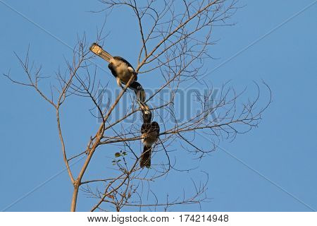 Couple of female and male Oriental pied hornbill bird in black white sitting on tree rubbing its beak in wild nature in evening, Thailand, Asia (Anthracoceros albirostris)