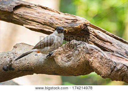 Sooty headed bulbul, song bird with black head, red vent perching on tree with worm in its beaks, Thailand, Asia (Pycnonotus aurigaster)