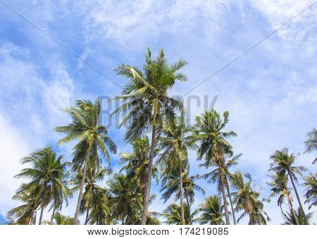 Palm tree crones and blue sky with fluffy cloud. Tropical island natural photo. Palm tree plantation. Sunny day in exotic island. Tropical nature landscape. Coconut palm silhouettes banner template