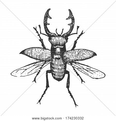 beetle, insect species isolated engraved, hand drawn animal in vintage style old flying stag