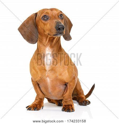 Sitting Dachshund Or Sausage Dog