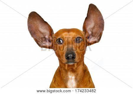 Dog Listening  Carefully