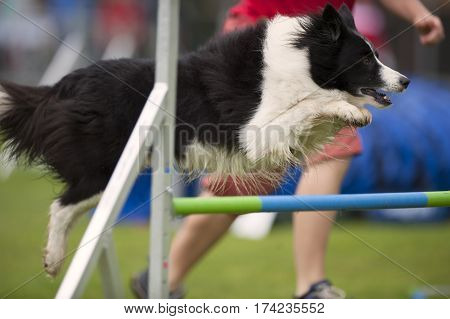 Border Collie jumping on agility competition with very nice style. He is in motion in long jump with paws in the air. He is well trained with very precise and elegant work.