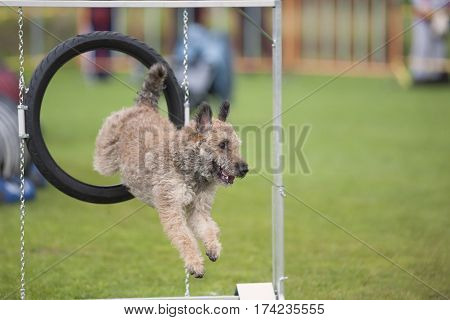 Agility dog jumped through black hoop. Dog is purebred Belgian shepherd Laekenois. It is perfect sport for all breeds for a hobby or serious competition work.