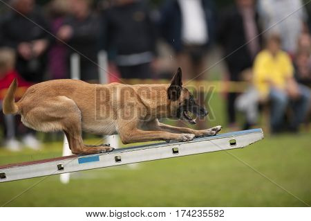 Canine sport. Belgian Shephard standing on agility swing and trying to find a balance. He is in very good position and with paws on zone.