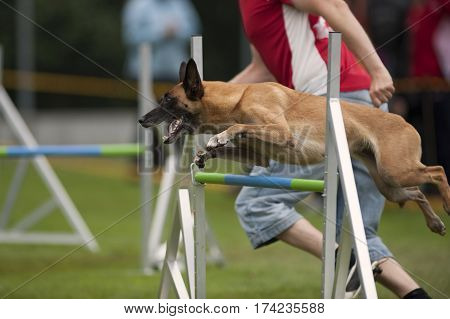 Belgian shepherd Malinois jumping on agility competition. He is on single hurdle and going to the next obstacle.