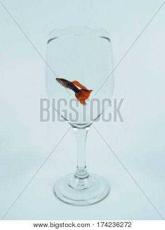 Small colorful guppy fish in a wine glass.
