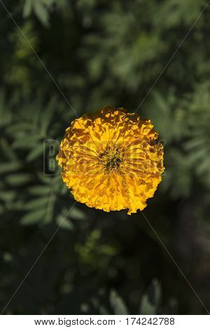 Marigold in the garden, Thailand.  (Selective Focus)