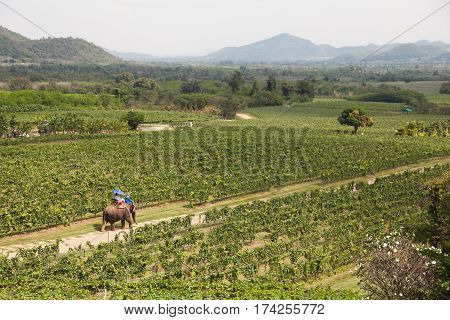 View of the Hua Hin hills vineyard in Thailand. On the way through the vineyard walk elephant.
