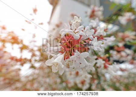 Beautiful flowers with red stripes orange on white flowers wayside between sidewalk travel . Selective focus.