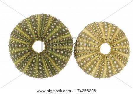 Sea shells of green sea urchin isolated on white background.