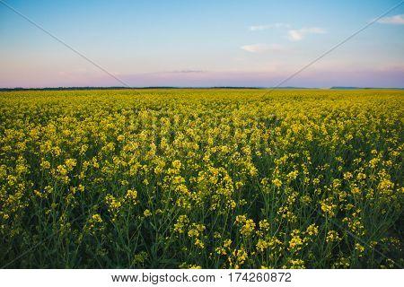 Cloud over the rape field, sunset over yellow rape field