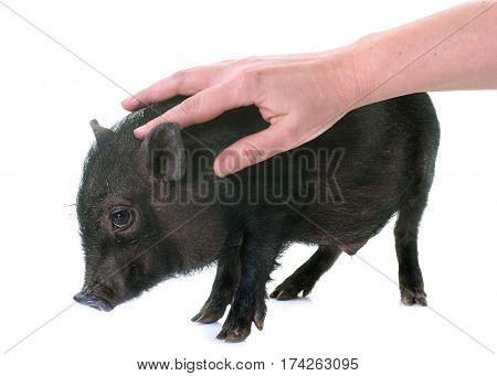stroking black piglet in front of white background