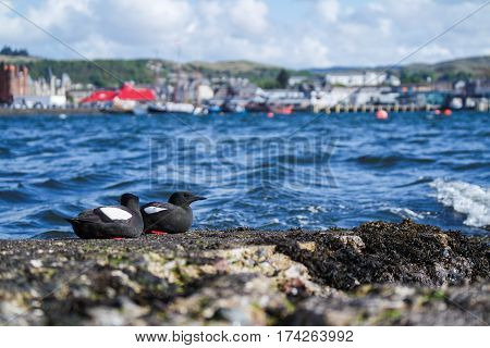 Black Guillemot with the town of Oban in background