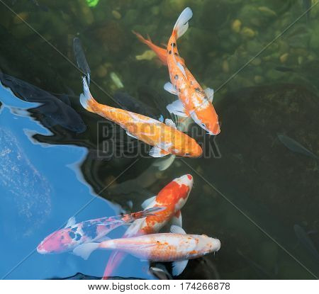 koi fishes in the pond