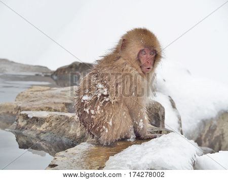 Portrait of a Japanese macaque (snow monkey) with surprise face in hot spring onsen at Jigokudani Monkey Park in Nagano prefecture, Japan.