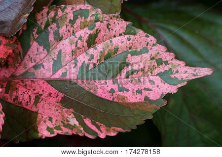 Closed up Pattern of Vibrant Pink with Brown Accent Tropical Plant Leaf, Green Foliage in the Background