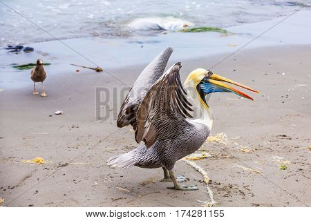 Pelican, Peru, Paracas, national, Park, Wildlife, Animals, In, The, Wild, Animal, Sea, Taking, Off, Water, Splashing, Tour, Beauty, Nature, Summer, Bird,  Spread, Wings, South, america,  Seascape, Coastline,   Freedom, Tranquil, Scene, Tropical, Climate,