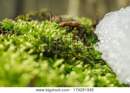 Awakening of Spring and retreat of winter. Fresh moss fights against snow and ice.