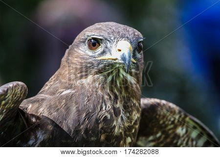 A Peregrine Falcon sitting on a stump