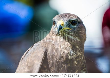 A Peregrine Falcon sitting on a stump