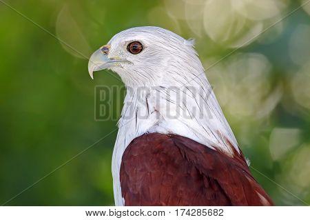 Brahminy Kite Haliastur indus Birds of Thailand Close up