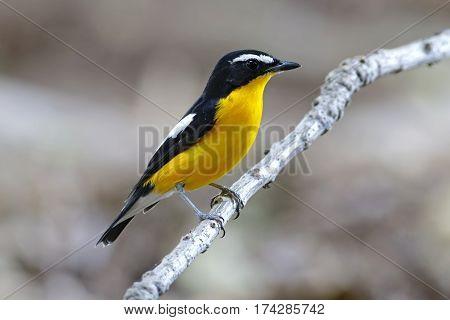 Yellow-rumped Flycatcher Ficedula zanthopygia Male Birds of Thailand