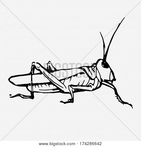 Green grasshopper. Wild animal, insect. Hand drawn vector stock illustration. Black and white whiteboard drawing.