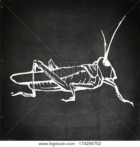 Green grasshopper. Wild animal, insect. Hand drawn vector stock illustration. Chalk board drawing.